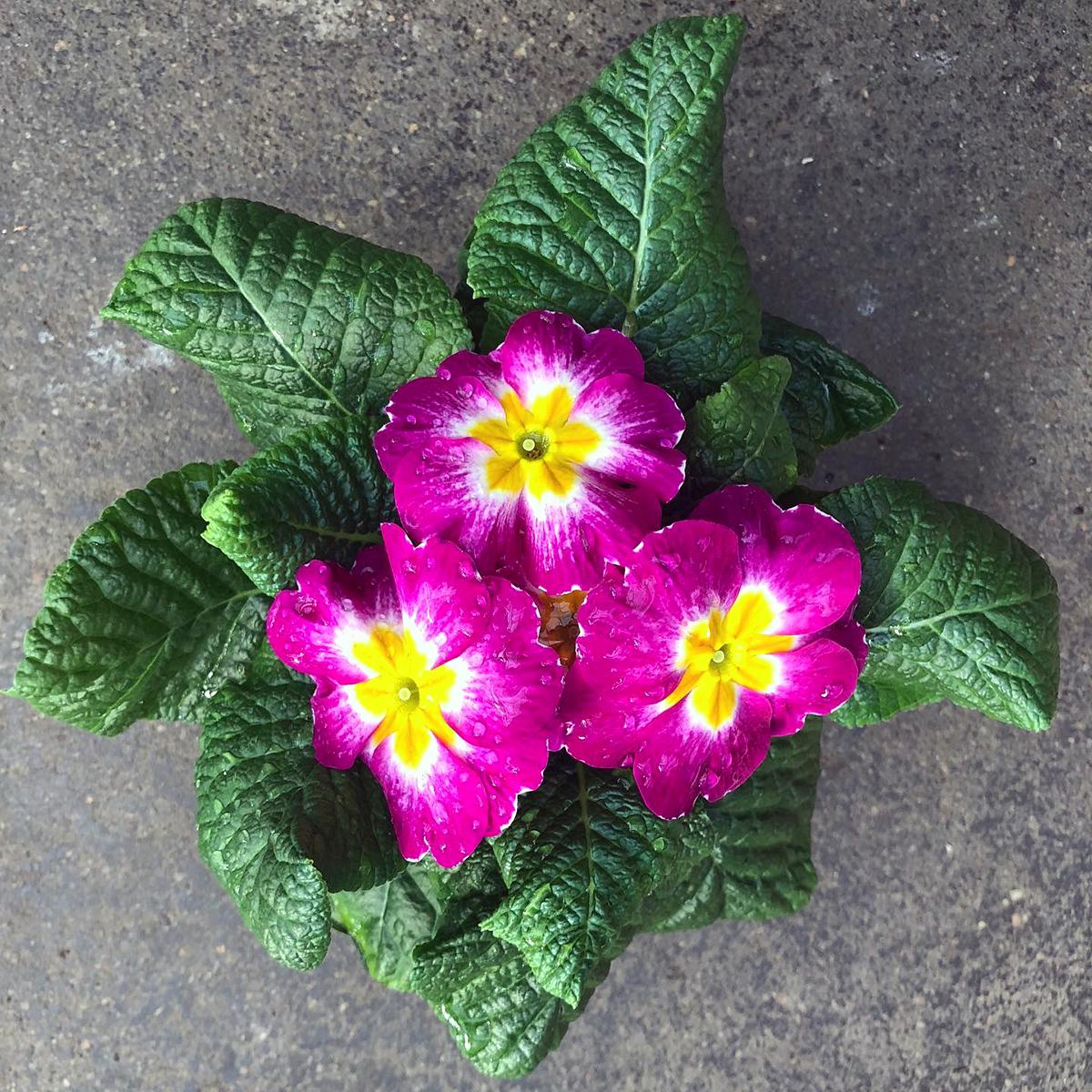 Primrose plant from Logan's